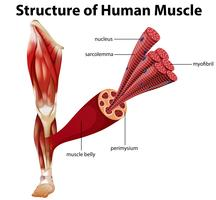En mänsklig muskels struktur