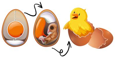Chicken Egg Life Cycle