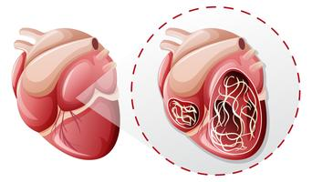 magnified heart worm concept