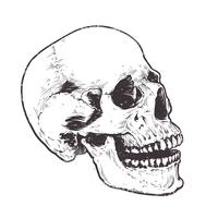 Vector de cráneo anatómico