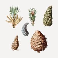 Coni di conifere