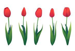 Vector set van verschillende rode tulpen.
