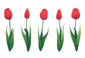 Vector set of various red tulips.