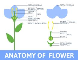Detail of anatomy flower.
