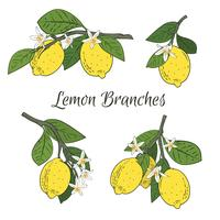 Set collection of branches with lemons, green leaves and flowers. Citrus fruits isolated on white background. Vector illustration