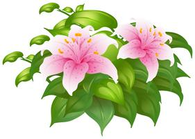 Pink lily flowers in green bush