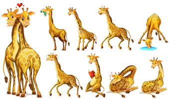 Different positions of giraffes