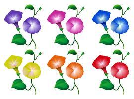 Olika färger på morgon ära blommor