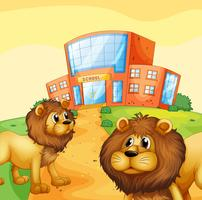 Two wild lions in front of a school building