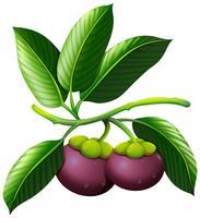 Rama de mangostán con frutas