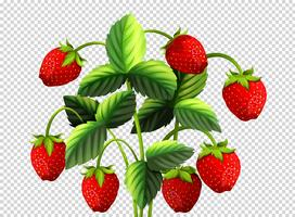 Fresh strawberry bush on transparent background