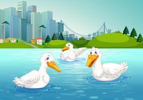 Três patos nadando no lago