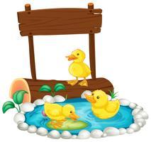 Trois canetons nageant dans l'étang