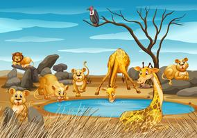 Girafas e leões à beira da lagoa
