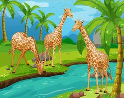 Três girafas bebendo água