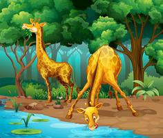 Two giraffes living in the forest