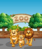 Família de Leão no zoológico