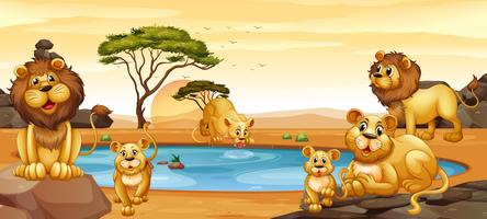 Lions living by the pond