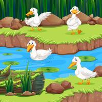 Cuatro patos en el rio