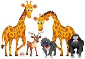 Giraffes and monkeys on white background