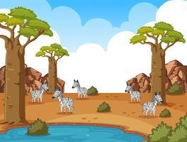 Hintergrundszene mit Zebras auf dem Savannengebiet