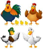 Chickens and ducks on white background
