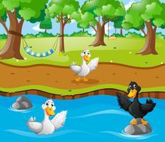 Tre anatre nel fiume