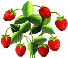 Strawberry plant with red strawberries