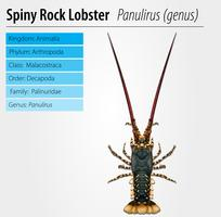 Spiny rock lobster - Panulirus