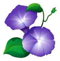 Morning glory flower in purple color vector