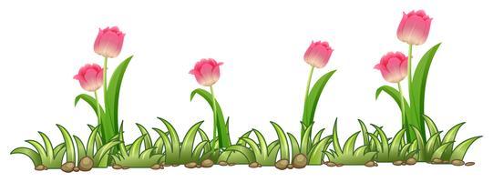 Jardin de tulipes roses sur fond blanc