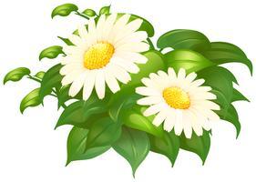 Margarita blanca flores en arbusto verde