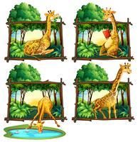 Quatro quadros de girafas na selva