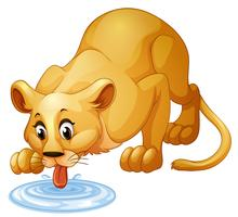 Lion drinking water from puddle vector