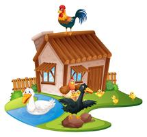 Patos y gallinas en la granja.