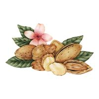 Hand drawn sketch of almonds