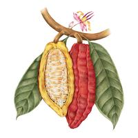 Illustration drawing style of cacao