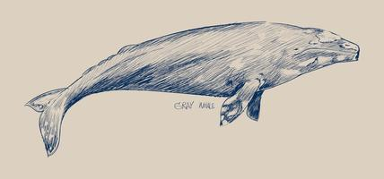 Illustration drawing style of gray whale