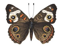 Single detailed butterfly