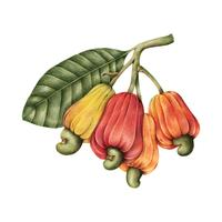 Hand drawn cashew nut and fruits