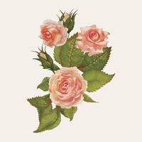 Illustration drawing of garden roses