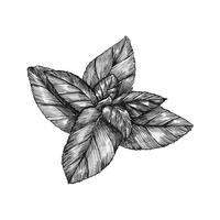 Hand-drawn basil leaf