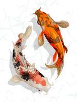 Dos peces koi japoneses nadando