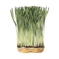 Hand drawn sketch of wheatgrass
