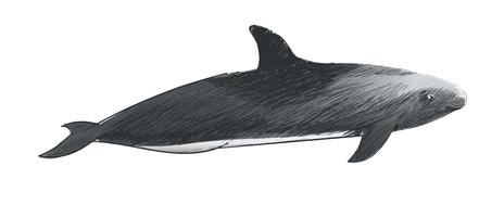 Illustration drawing style of melon-headed whale