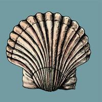 Mão desenhada moluscos de água salgada Vieira