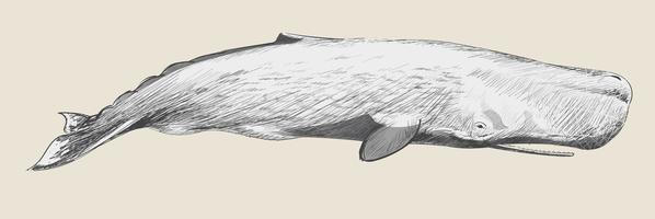 Illustration drawing style of sperm whale