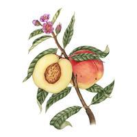 Estilo de desenho de ilustração de pêssego