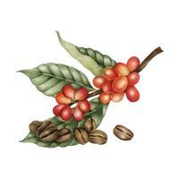 Ilustração, de, feijões café