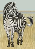 Hand drawn zebra